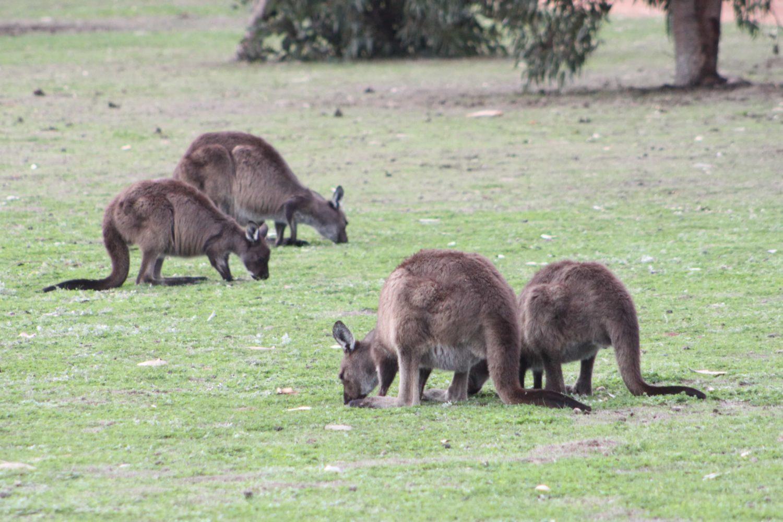 Kängurus, Kangaroo Island, Australien