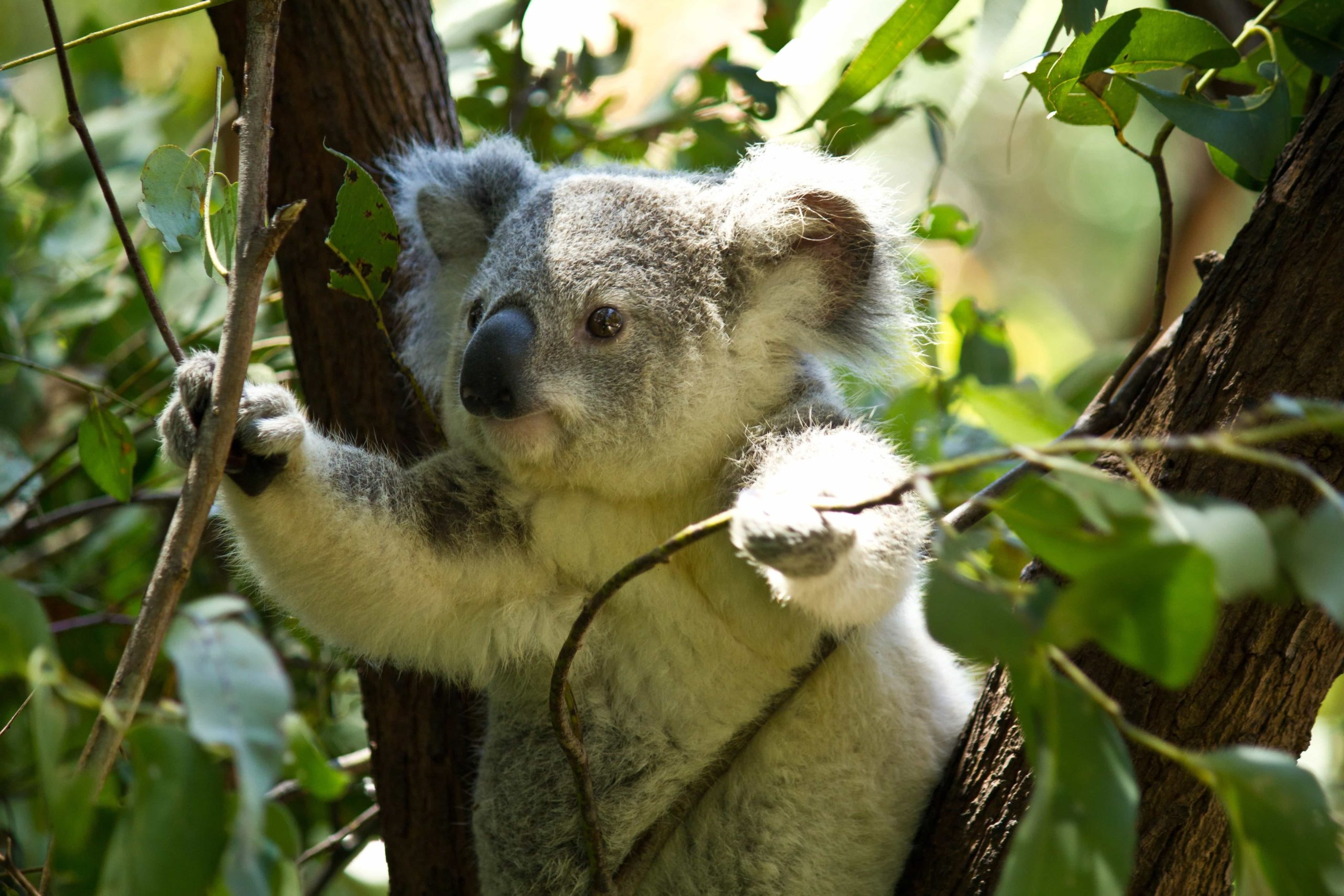 Koala, Australien