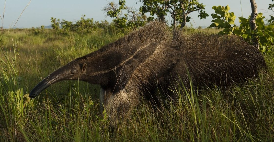 Ameisenbär, North Rupununi, Guyana © PeteOxford