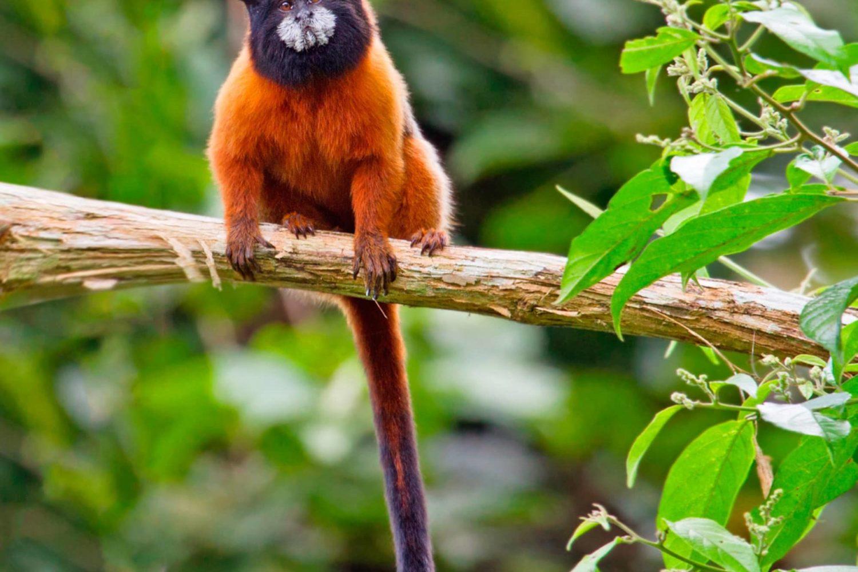 Affe, Amazonas, Ecuador