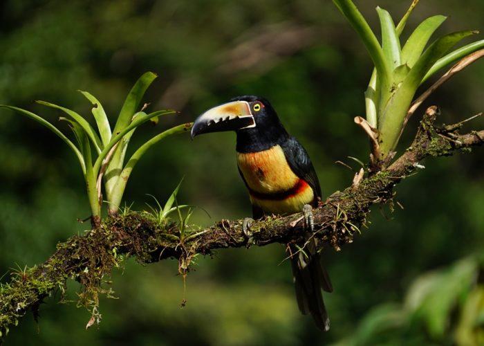 Aracari Tukan, Costa Rica