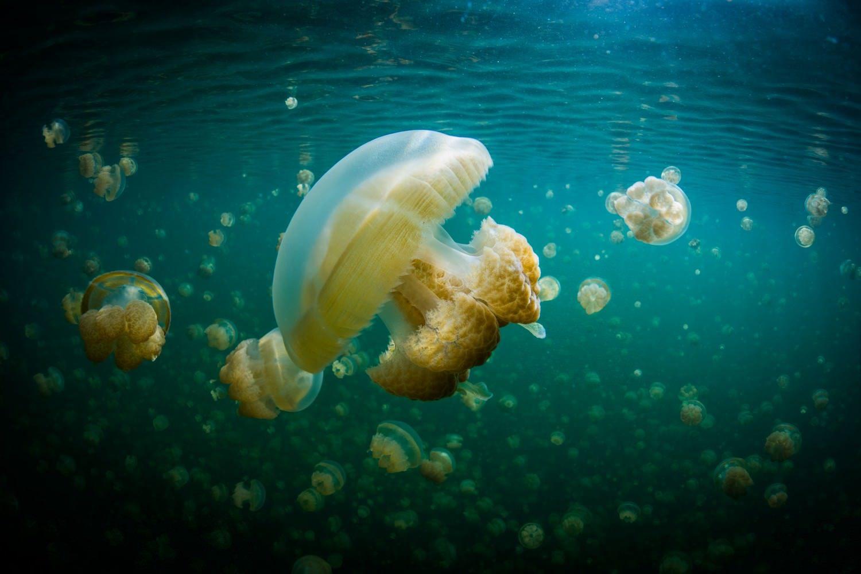 Palau, Jellyfish Lake © David Kirkland_SPTO