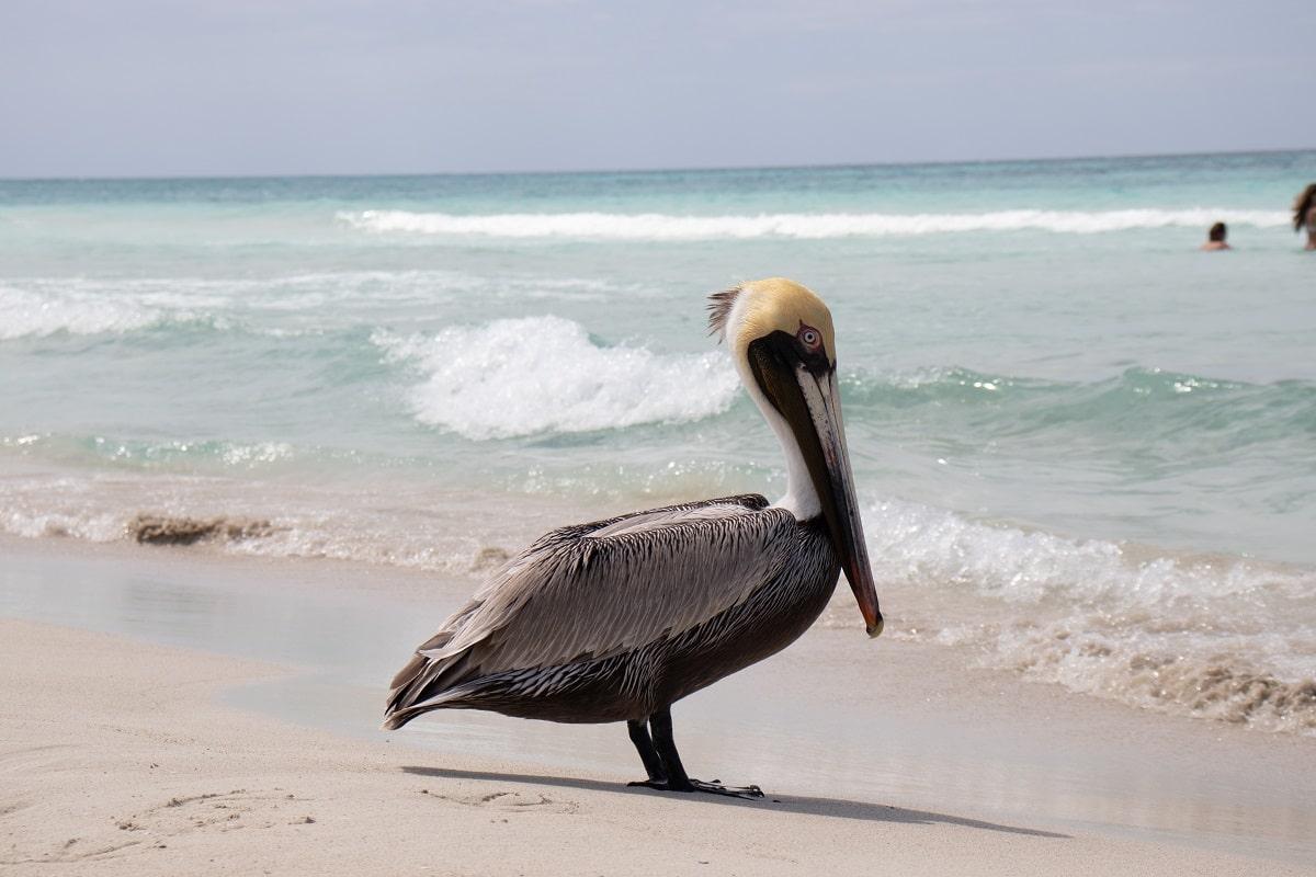 Pelikan, Varadero Beach, Kuba © Noel on Unsplash