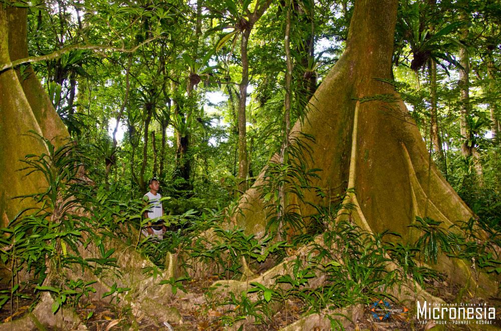 Regenwald, Kosrae © FSMVB