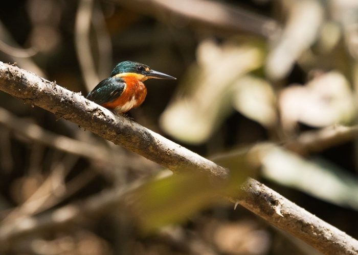 Kingfisher, Suriname © Vincent van Zalinge on Unsplash