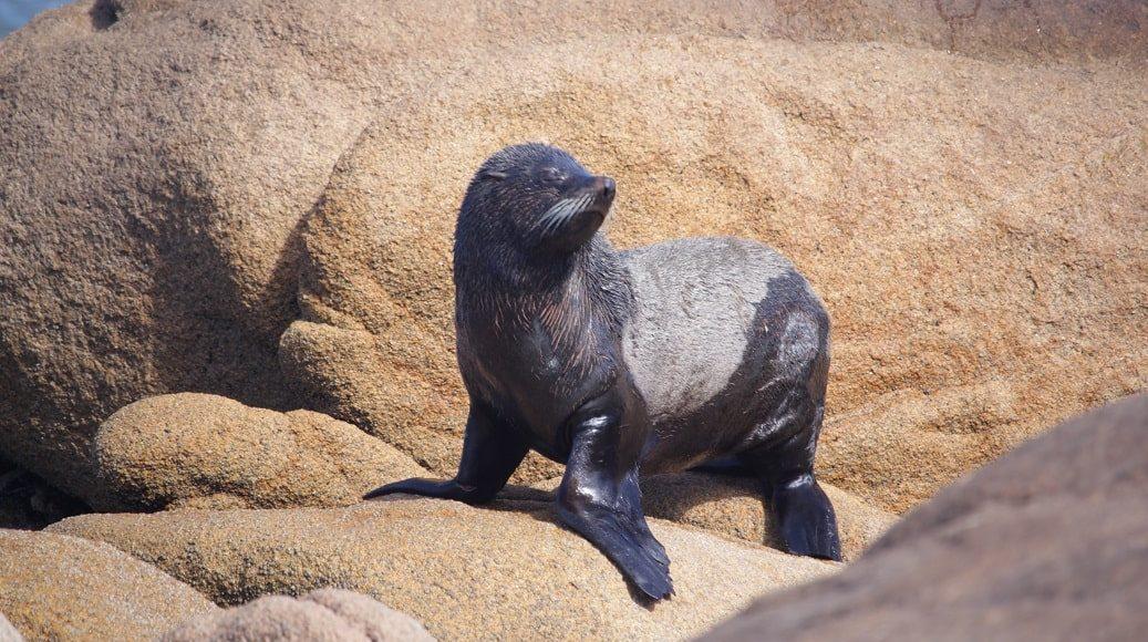 Seelöwe, Cabo Polonio Nationalpark, Rocha, Uruguay