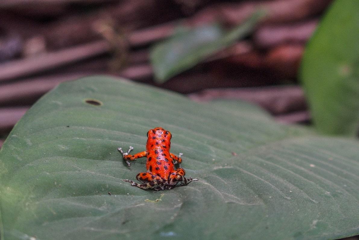 Frosch, Panama © Jonas Ducker on Unsplash