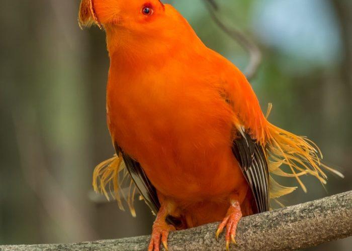 Guianan Cock of the Rock, Guyana © Kester Clarke