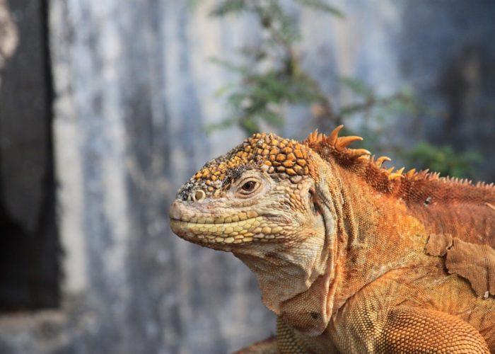 Iguana, Galapagos Inseln, Ecudaor