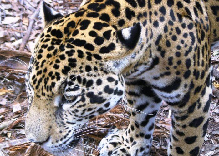 Jaguar, Belize