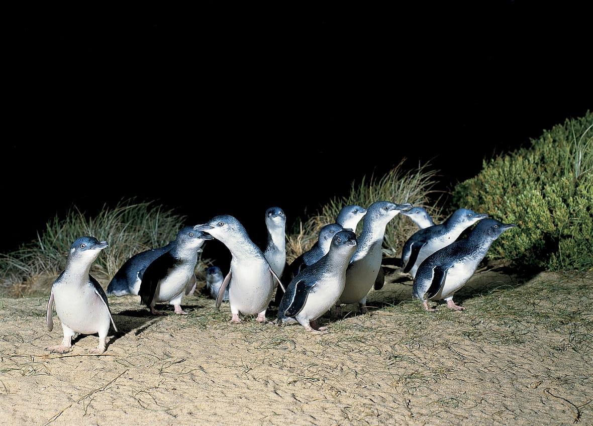 Penguin Parade, Phillip Island, Australien © Visit Victoria
