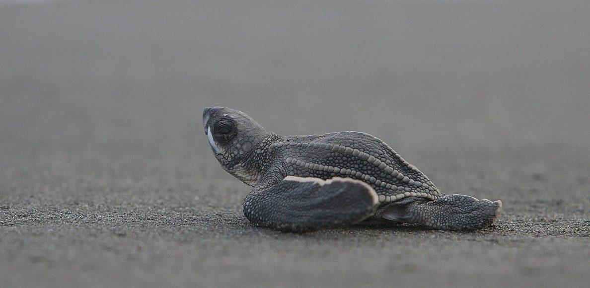 Baby Schildkröte, Costa Rica © Visit Costa Rica