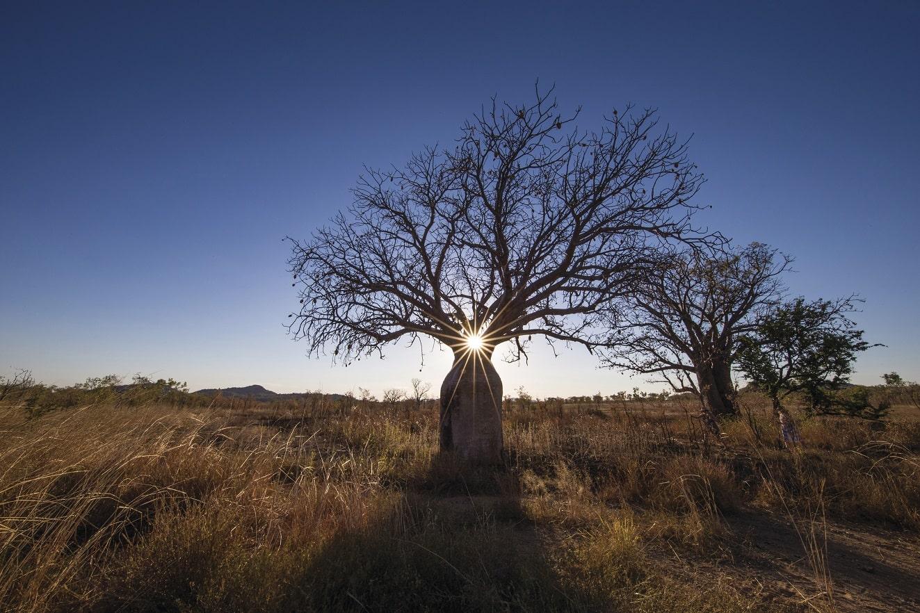 Boab Tree © Sean Scott