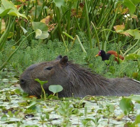 Capybara, Esteros de Ibera