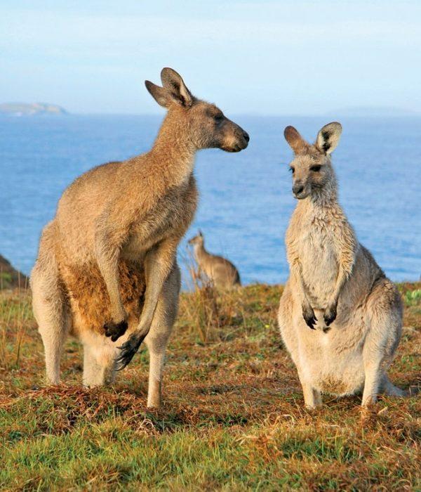 Kangaroos © AAT Kings