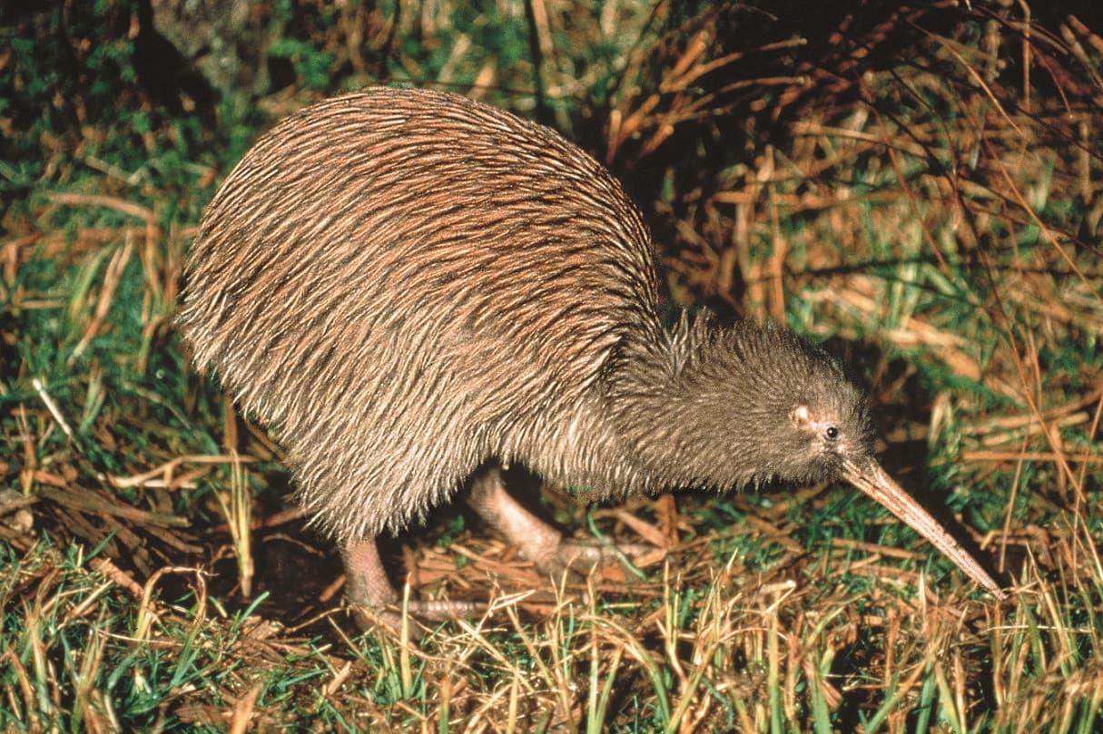 Kiwi © Tourism New Zealand