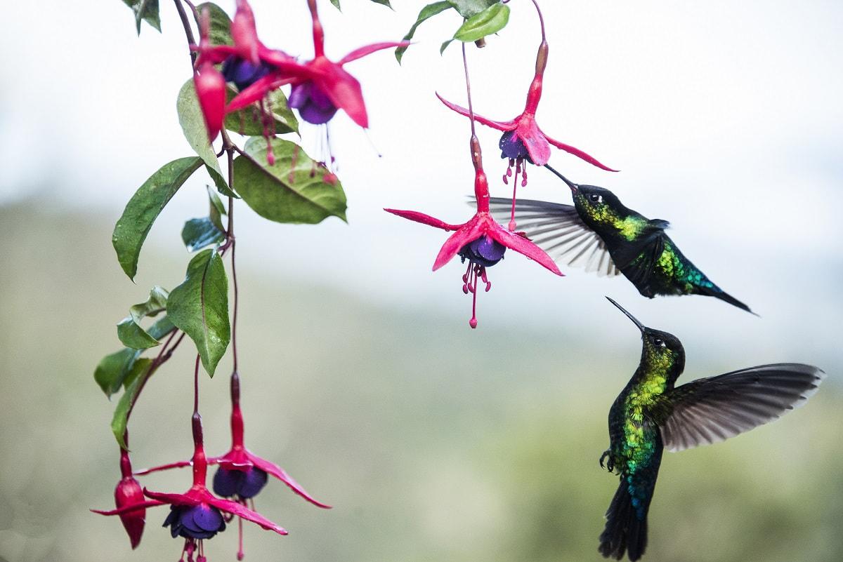Kolibris © Visit Costa Rica