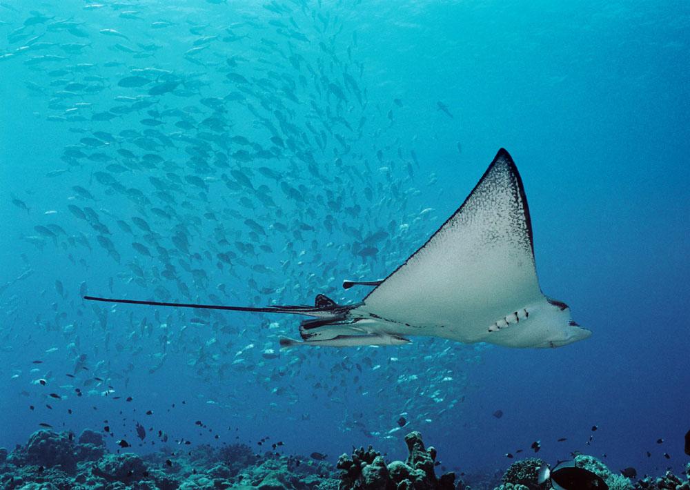 Manta, Blue Corner, Palau © Fish n Fins