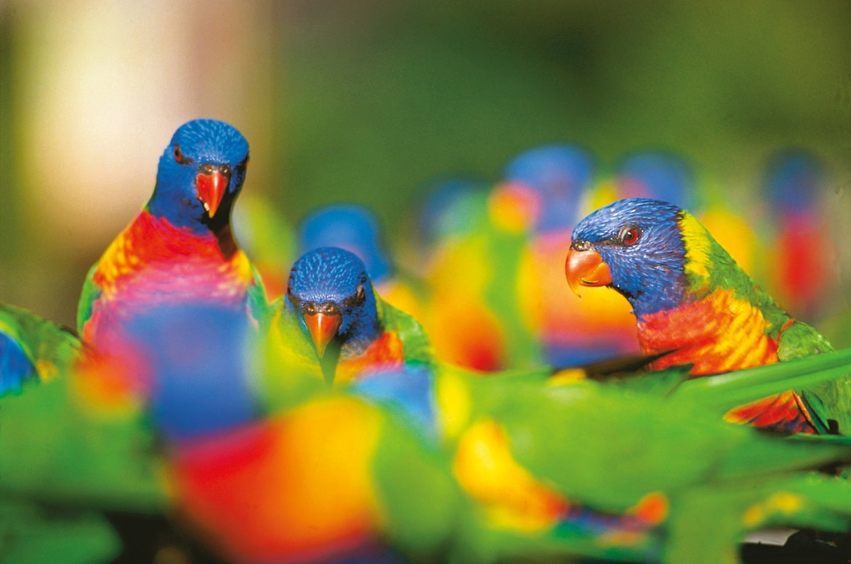 Rainbow Lorikeets © AAT Kings
