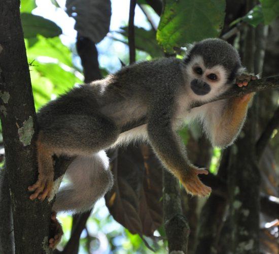 Amazonas Regenwald, Affe