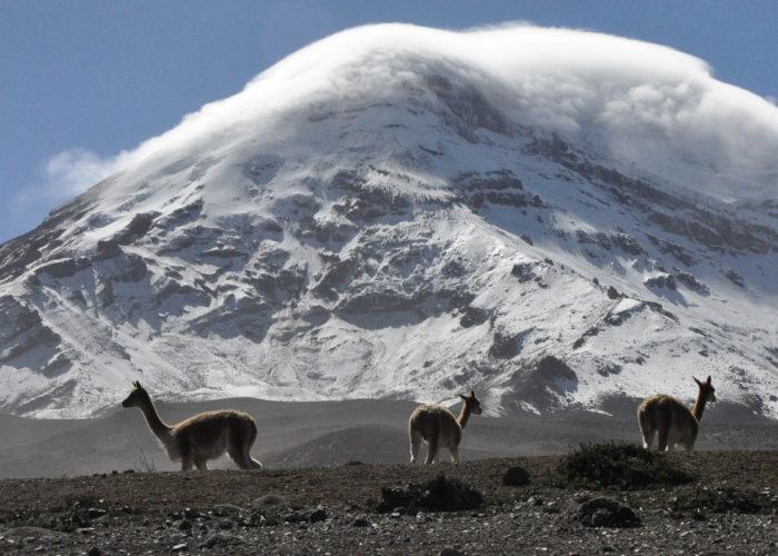 Chimborazo, Vicuñas
