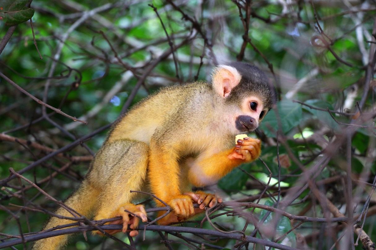 Affe, Amazonas Regenwald, Bolivien
