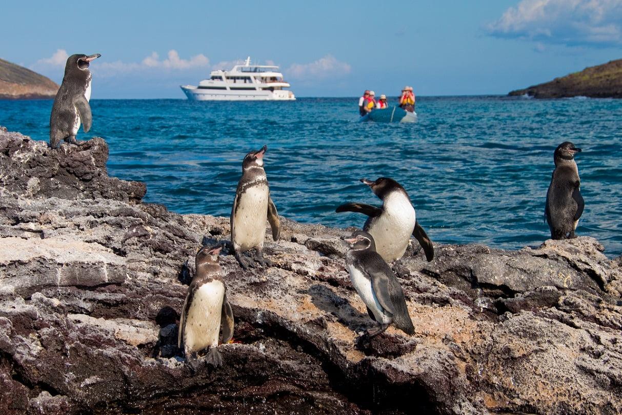 Galapagos Pinguine, Fernandina