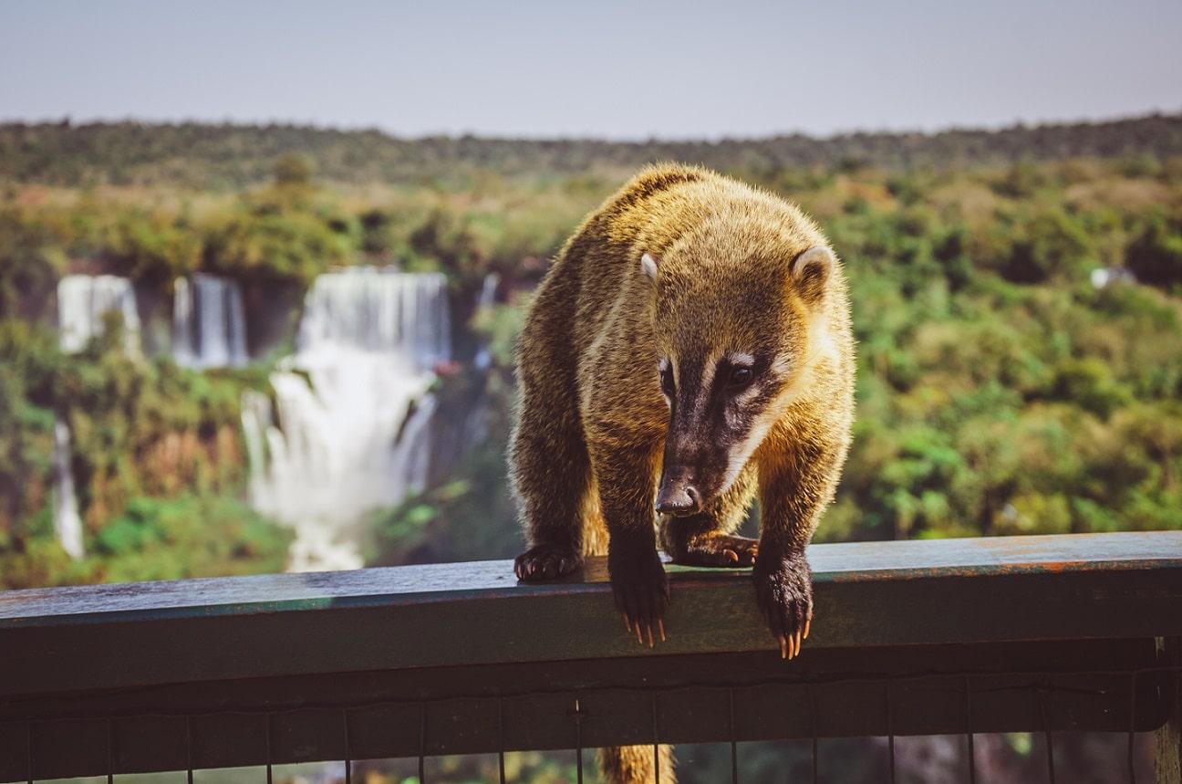 Nasenbär, Cataratas do Iguaçu, Brasilien